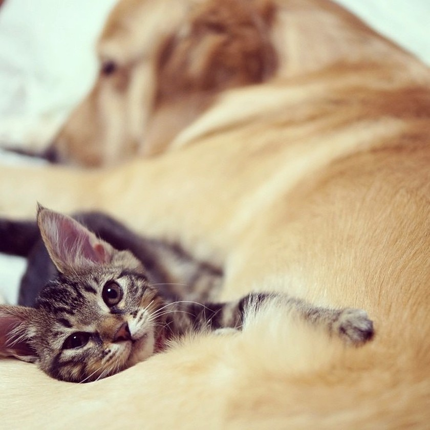 cute kitten dog sleeping together snuggling golden-retriever