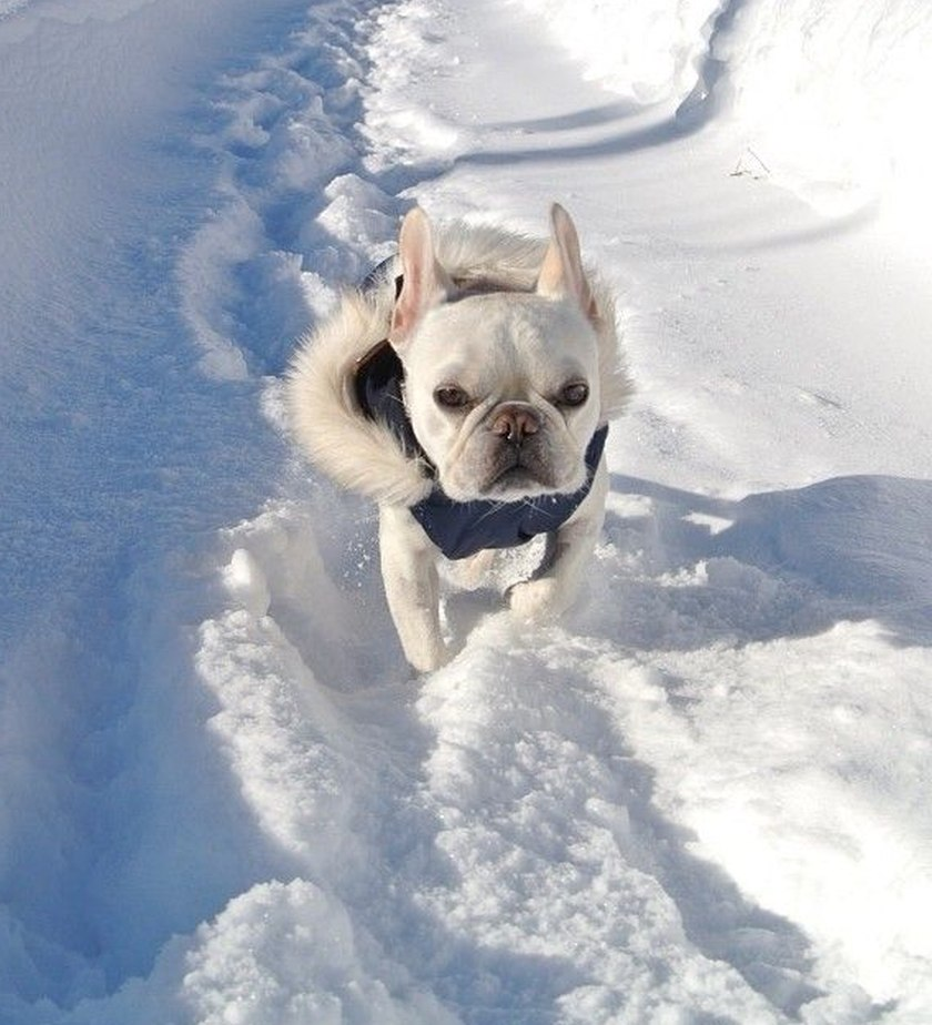 bulldog in snow cute