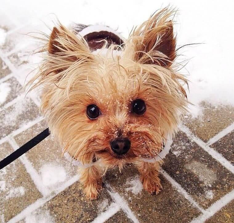 yorkie in snow