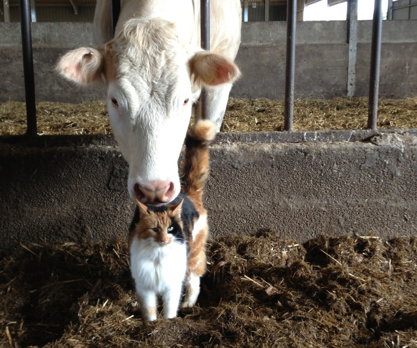 cat and cow best friends