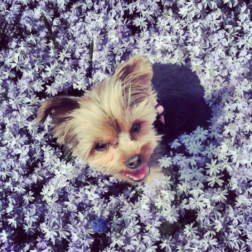 blue flowers field summer cute small dog