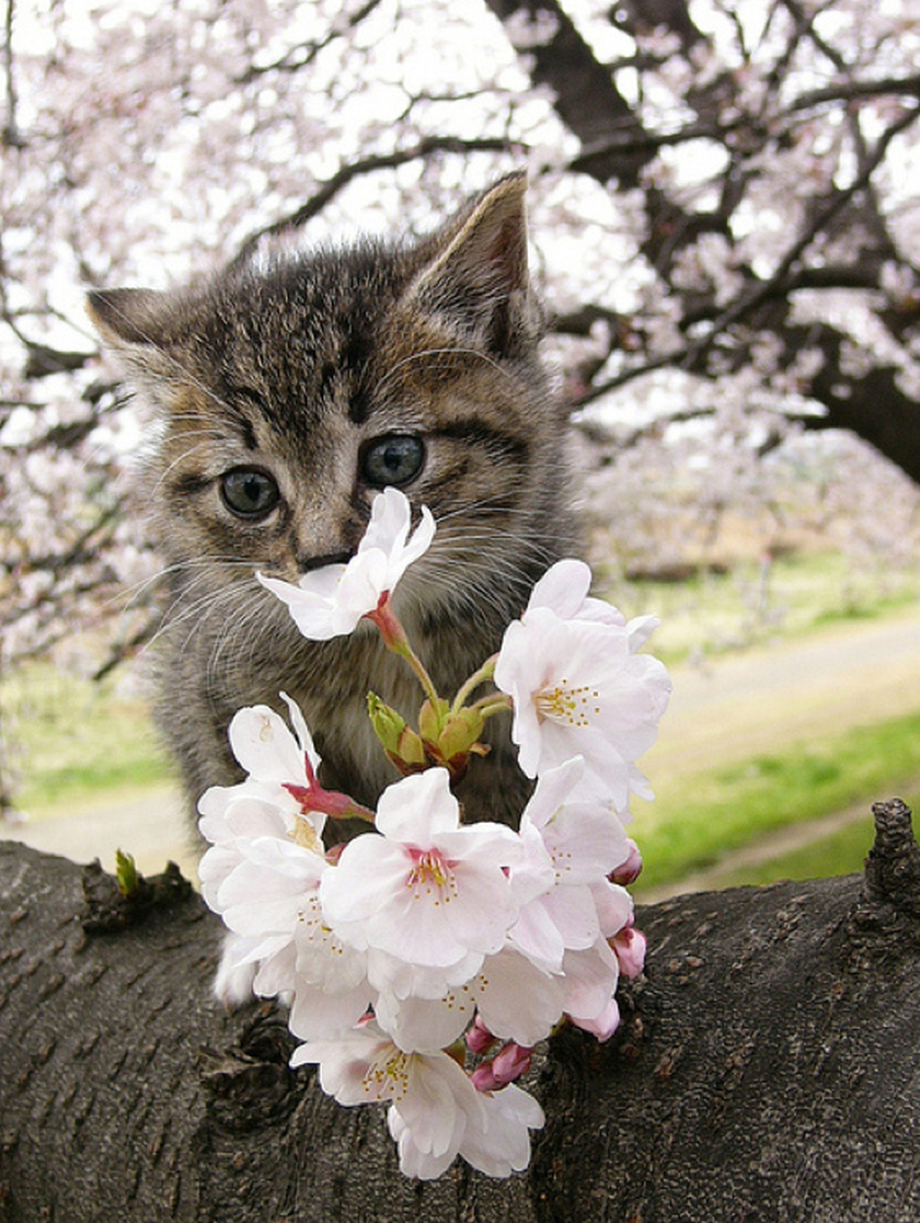 pretty little kitten kitty cat in pink tree blossoms spring time flowers