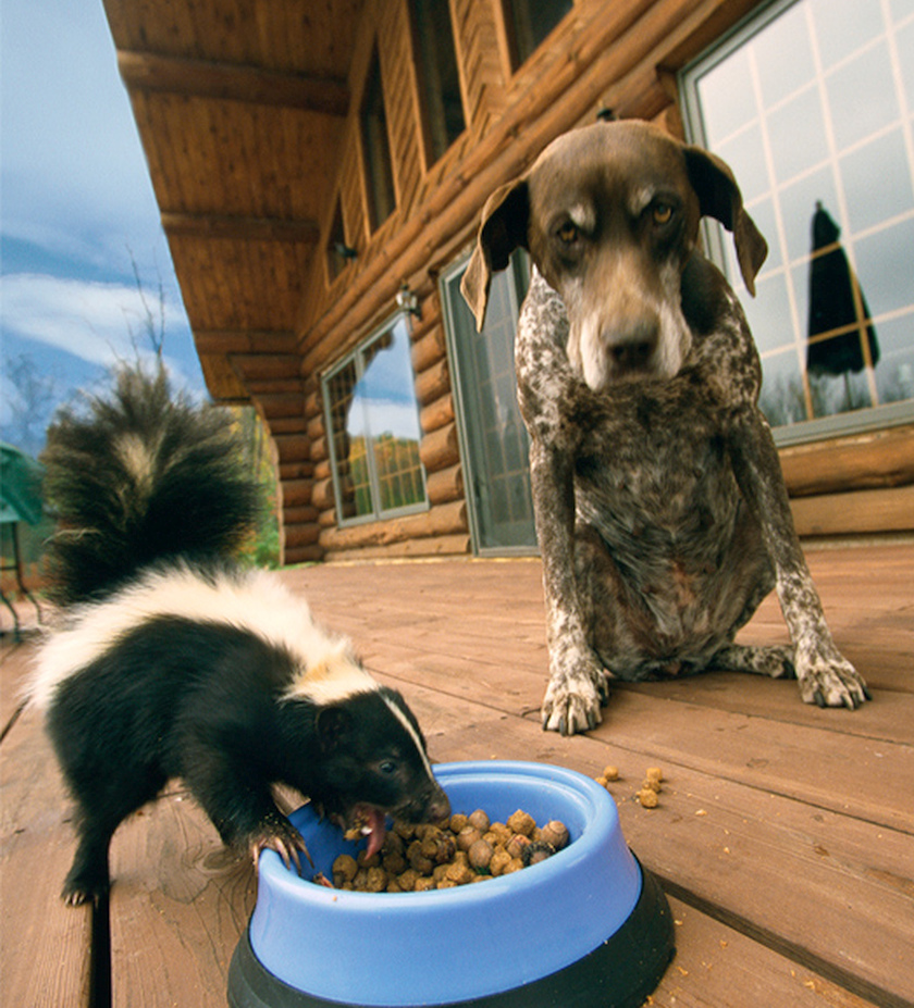 baby-skunk-eating-dog-food-dog-not-happy-about-it
