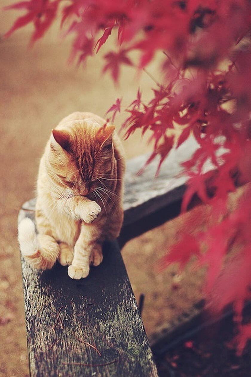 ginger orange tabby cat fall colors