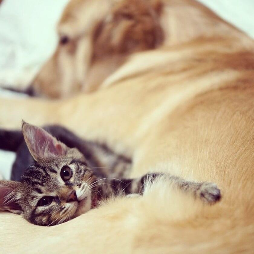 cute kitten dog sleeping together snuggling golden-retriever