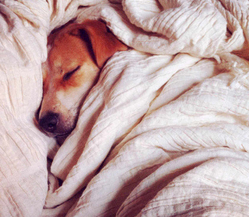 Happy dog snuggling under the covers asleep napping cute