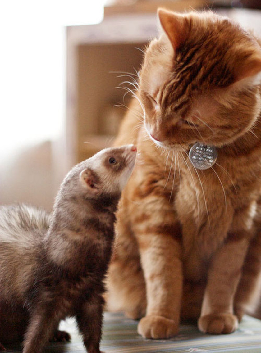 kitty cat and ferret