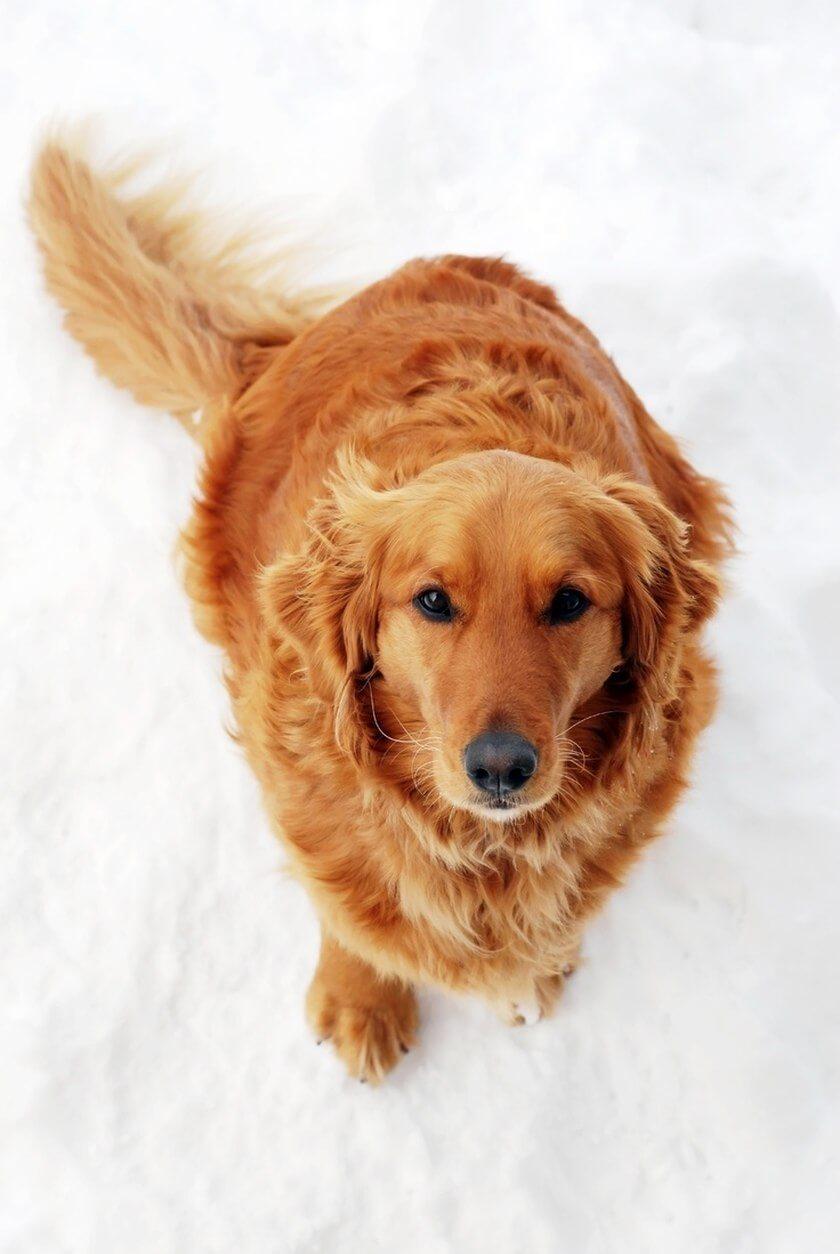 setter in snow